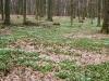 """Oder können Sie sich einen schöneren Schmuck vorstellen als im Frühling einen solchen Teppich aus Buschwindröschen, die der Hunsrücker """"Kuckucksblumen"""" nennt?"""